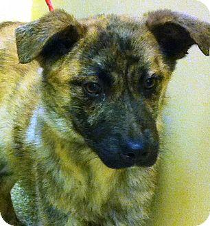 German Shepherd Dog Mix Puppy for adoption in Oswego, Illinois - Milo