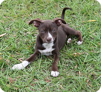 Terrier (Unknown Type, Small) Mix Puppy for adoption in West Palm Beach, Florida - SUSIE