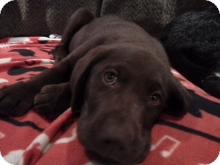 Labrador Retriever Puppy for adoption in Knoxvillle, Tennessee - Bates Pup