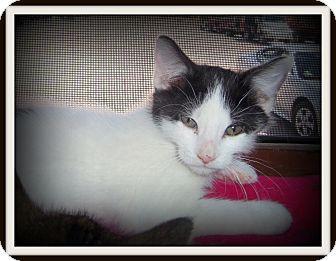 Domestic Shorthair Cat for adoption in Medford, Wisconsin - SPENCER