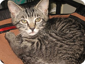Domestic Shorthair Kitten for adoption in Hendersonville, Tennessee - Michael
