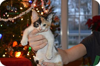 American Shorthair Kitten for adoption in Spring Valley, New York - Patches