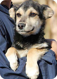 German Shepherd Dog Mix Puppy for adoption in Chicago, Illinois - Cadbury