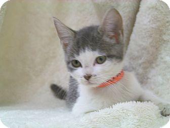 Domestic Shorthair Kitten for adoption in Arlington, Virginia - Cora