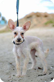 Schnauzer (Miniature) Mix Dog for adoption in El Cajon, California - WILLY