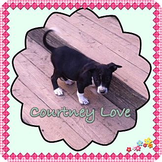 Border Collie/Terrier (Unknown Type, Medium) Mix Puppy for adoption in Groton, Massachusetts - Courtney Love