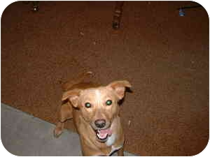 Basenji/Whippet Mix Dog for adoption in Aledo, Illinois - sarah