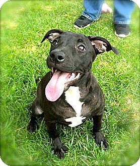 Pointer/Pit Bull Terrier Mix Puppy for adoption in El Cajon, California - Kimba