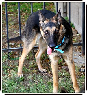 German Shepherd Dog Mix Dog for adoption in Phoenix, Arizona - Suzy Q