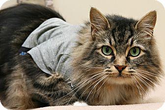 Domestic Longhair Cat for adoption in Bellingham, Washington - Ralphie