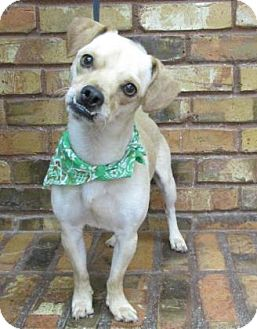 Chihuahua/Terrier (Unknown Type, Small) Mix Dog for adoption in Benbrook, Texas - Jack
