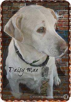 Labrador Retriever Mix Dog for adoption in Davison, Michigan - Daisy Mae