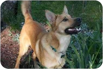 Labrador Retriever/Shepherd (Unknown Type) Mix Dog for adoption in Northville, Michigan - Bingo