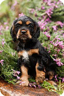 Cocker Spaniel/King Charles Spaniel Mix Puppy for adoption in Auburn, California - Freckles