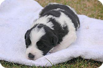 Border Collie/St. Bernard Mix Puppy for adoption in Woodstock, Ontario - Etta James
