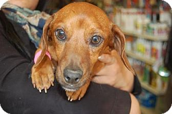 Dachshund Mix Dog for adoption in Brooklyn, New York - Derek