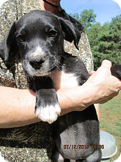 Labrador Retriever/American Pit Bull Terrier Mix Puppy for adoption in Rutherfordton, North Carolina - Dobbs