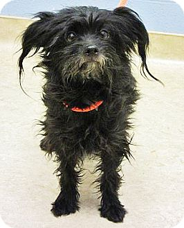 Shih Tzu Mix Dog for adoption in Spokane, Washington - Aurora