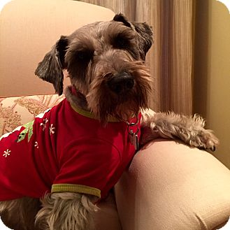 Schnauzer (Miniature) Dog for adoption in Redondo Beach, California - Willie