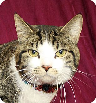 Domestic Shorthair Cat for adoption in Jackson, Michigan - Kerry