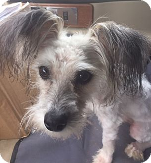 Chinese Crested Mix Dog for adoption in Norwalk, Connecticut - Lucas