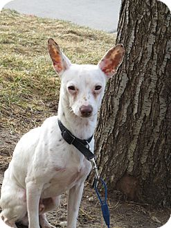 Whippet/Jack Russell Terrier Mix Dog for adoption in Meridian, Idaho - Kerby