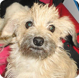 Terrier (Unknown Type, Small) Mix Dog for adoption in Palm Springs, California - Paislee