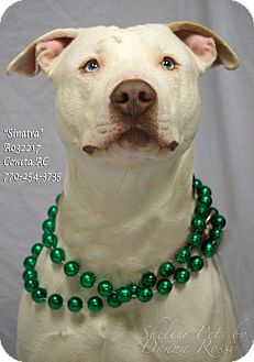 American Bulldog Mix Dog for adoption in Newnan City, Georgia - Sinatra