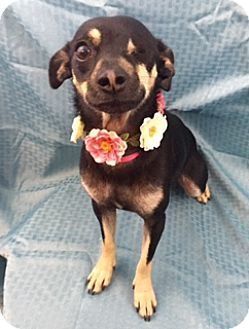Chihuahua Mix Dog for adoption in Lake Elsinore, California - Sable