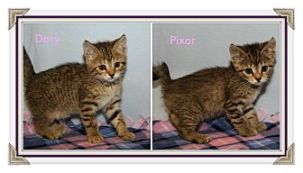 Domestic Shorthair Kitten for adoption in Marietta, Ohio - Dory & Pixar (Bonded Pair)