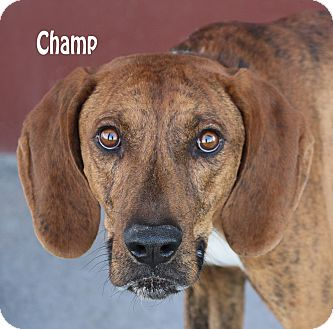 Hound (Unknown Type) Mix Dog for adoption in Idaho Falls, Idaho - Champ
