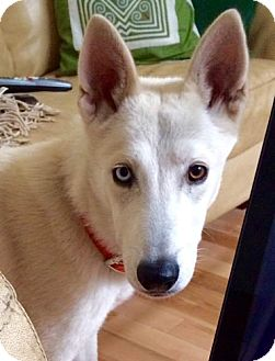 Siberian Husky/German Shepherd Dog Mix Dog for adoption in Cedar Crest, New Mexico - Finn