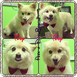 Pomeranian Dog for adoption in South Gate, California - Toby