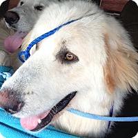 Adopt A Pet :: Zeus LGD - Kyle, TX