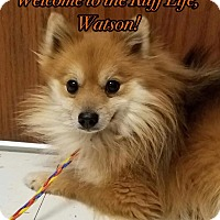 Pomeranian Dog for adoption in Davenport, Iowa - Watson~adoption pending