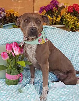 American Staffordshire Terrier Mix Dog for adoption in Toluca Lake, California - Pancha