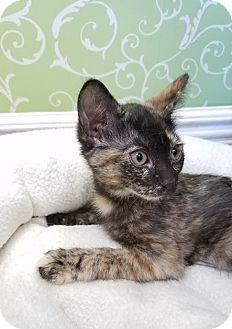 Domestic Shorthair Kitten for adoption in Red Wing, Minnesota - Bernadette