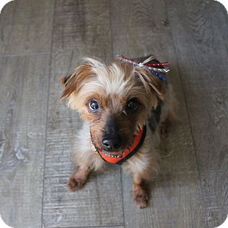 Silky Terrier/Yorkie, Yorkshire Terrier Mix Dog for adoption in Los Angeles, California - perfect Bentley