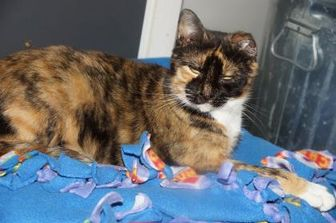 Domestic Shorthair/Domestic Shorthair Mix Cat for adoption in Alpena, Michigan - Penelope
