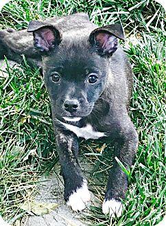 Boston Terrier/Border Collie Mix Puppy for adoption in Boulder, Colorado - Havoc