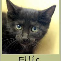 Adopt A Pet :: Ellis - Sullivan, IN
