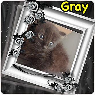 Domestic Mediumhair Kitten for adoption in Brentwood, New York - Gray