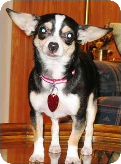 Chihuahua Dog for adoption in Osseo, Minnesota - Abby