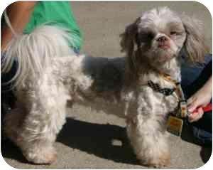 Shih Tzu Dog for adoption in Loudonville, New York - Tiki