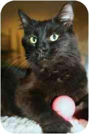 Domestic Longhair Cat for adoption in Walker, Michigan - Elvira