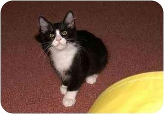 Maine Coon Kitten for adoption in Englewood, Florida - Kalen