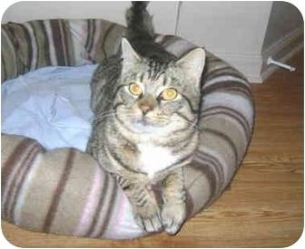 Domestic Shorthair Cat for adoption in Colmar, Pennsylvania - Isaiah