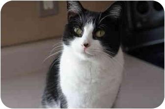 Domestic Shorthair Cat for adoption in Xenia, Ohio - Chloe