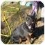 Photo 2 - Doberman Pinscher/Cardigan Welsh Corgi Mix Dog for adoption in No.Charleston, South Carolina - Poppy
