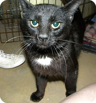 Domestic Shorthair Cat for adoption in Stafford, Virginia - Cosmo